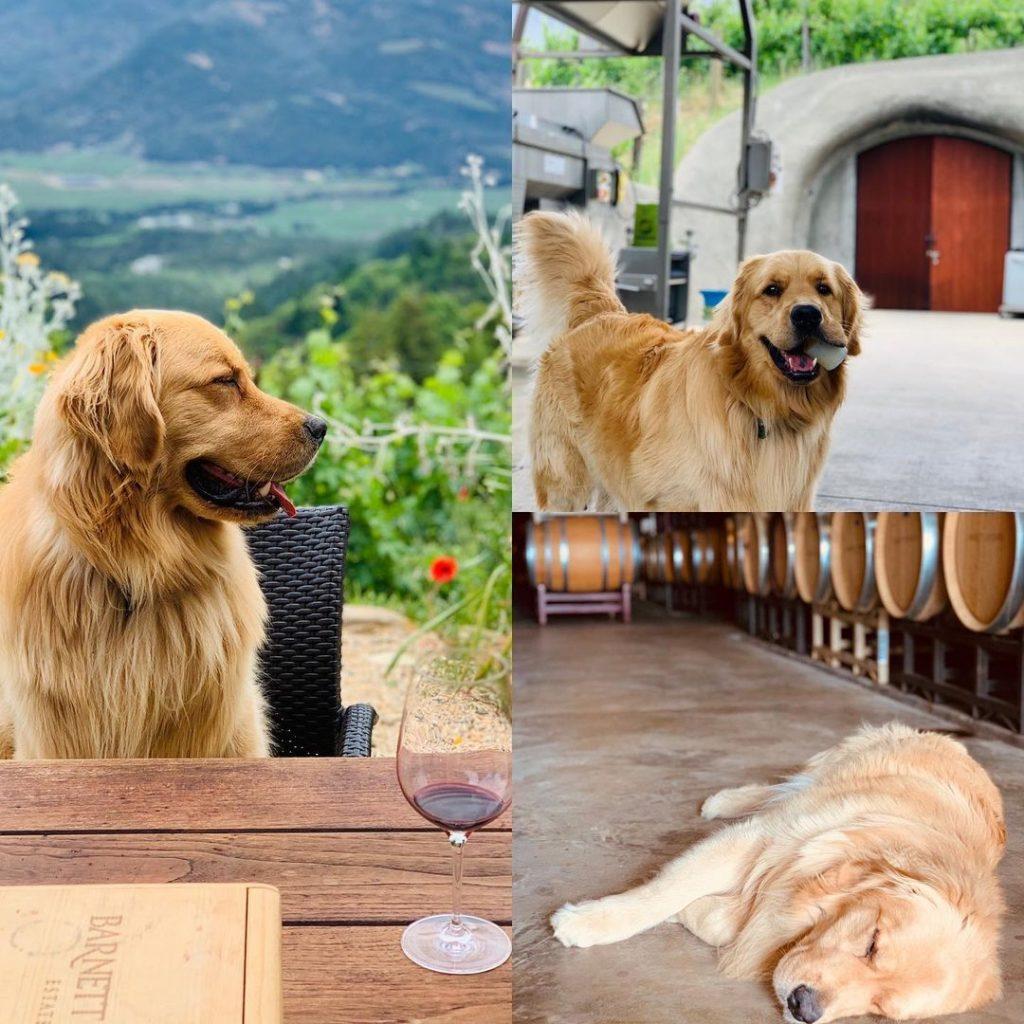 Napa Wine Tour Drivers ™ Barnet-dog-1024x1024 Photo Gallery